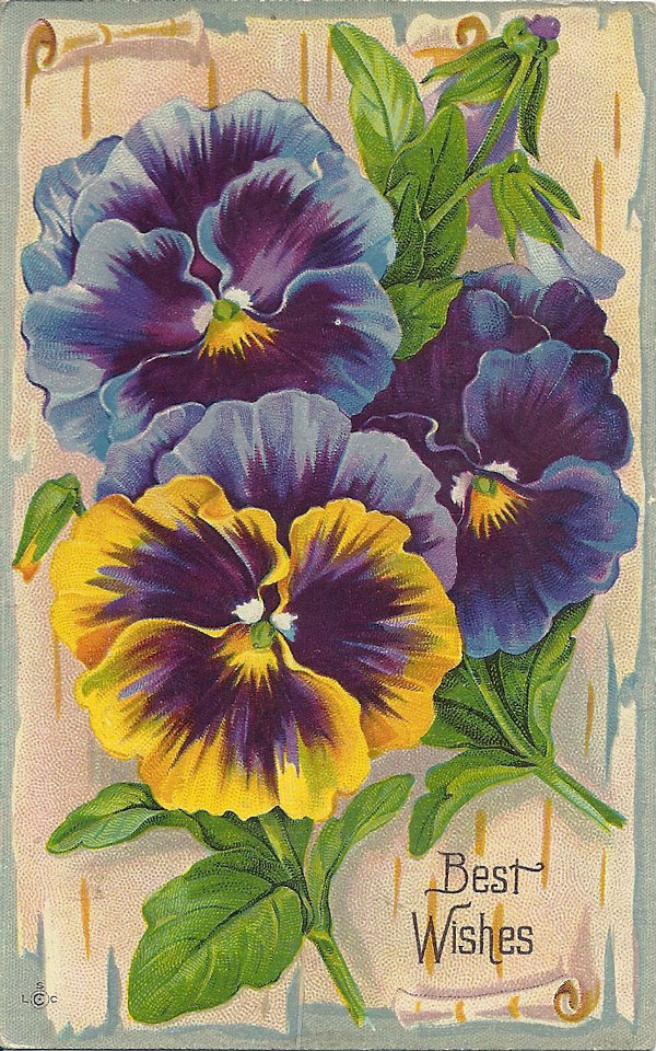 antique pansy postcard